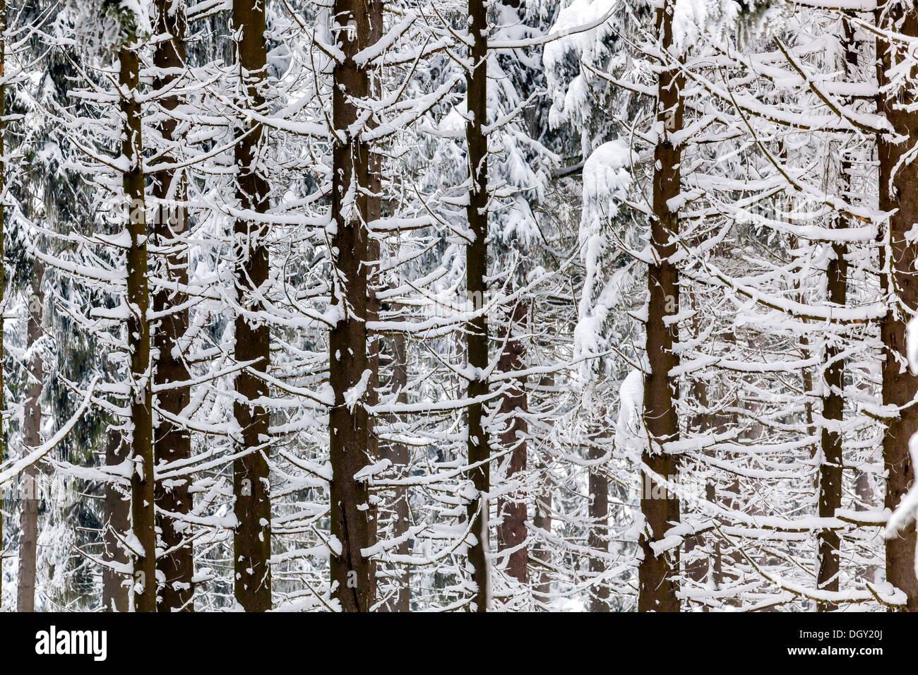 Conifer forest in winter, Sankt Englmar, Bavaria, Germany - Stock Image