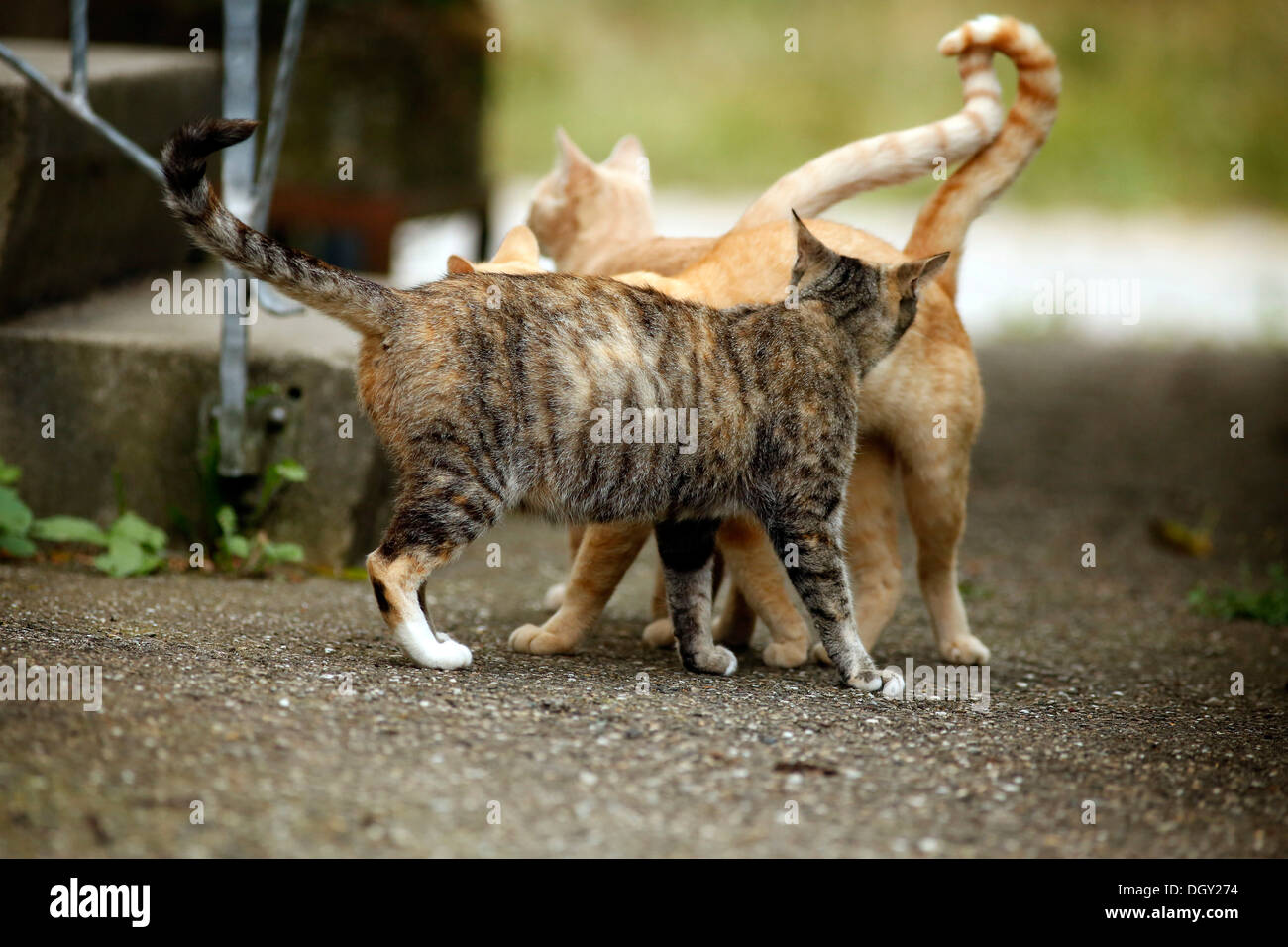 Greeting behavior, pregnant tri-colored tabby cat being welcomed by two red tabby cats - Stock Image