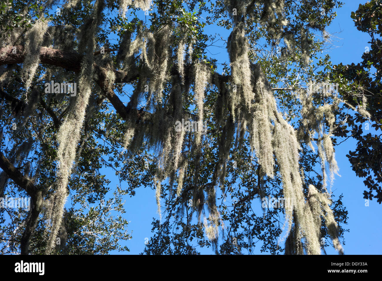 Spanish moss (Tillandsia usneoides) on a Southern Live Oak in Central Florida, USA - Stock Image