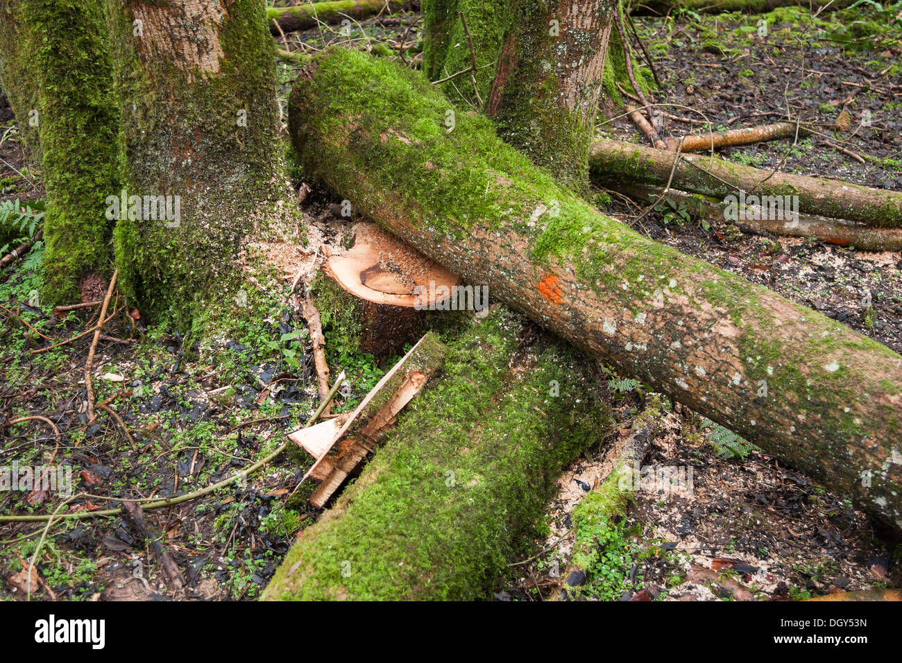 ash tree diseased branches felled in woods - Stock Image