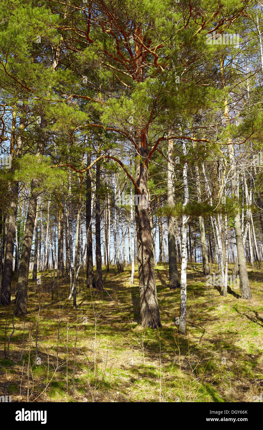 Siberian forest pine conifer at Spring time - Stock Image