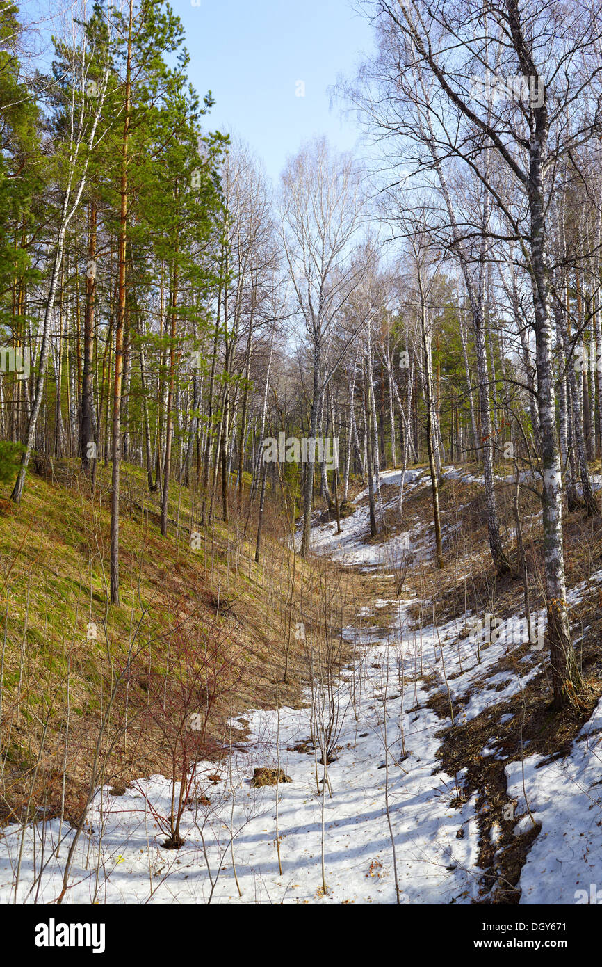 Siberian pine conifer forest in ravine at Spring time - Stock Image