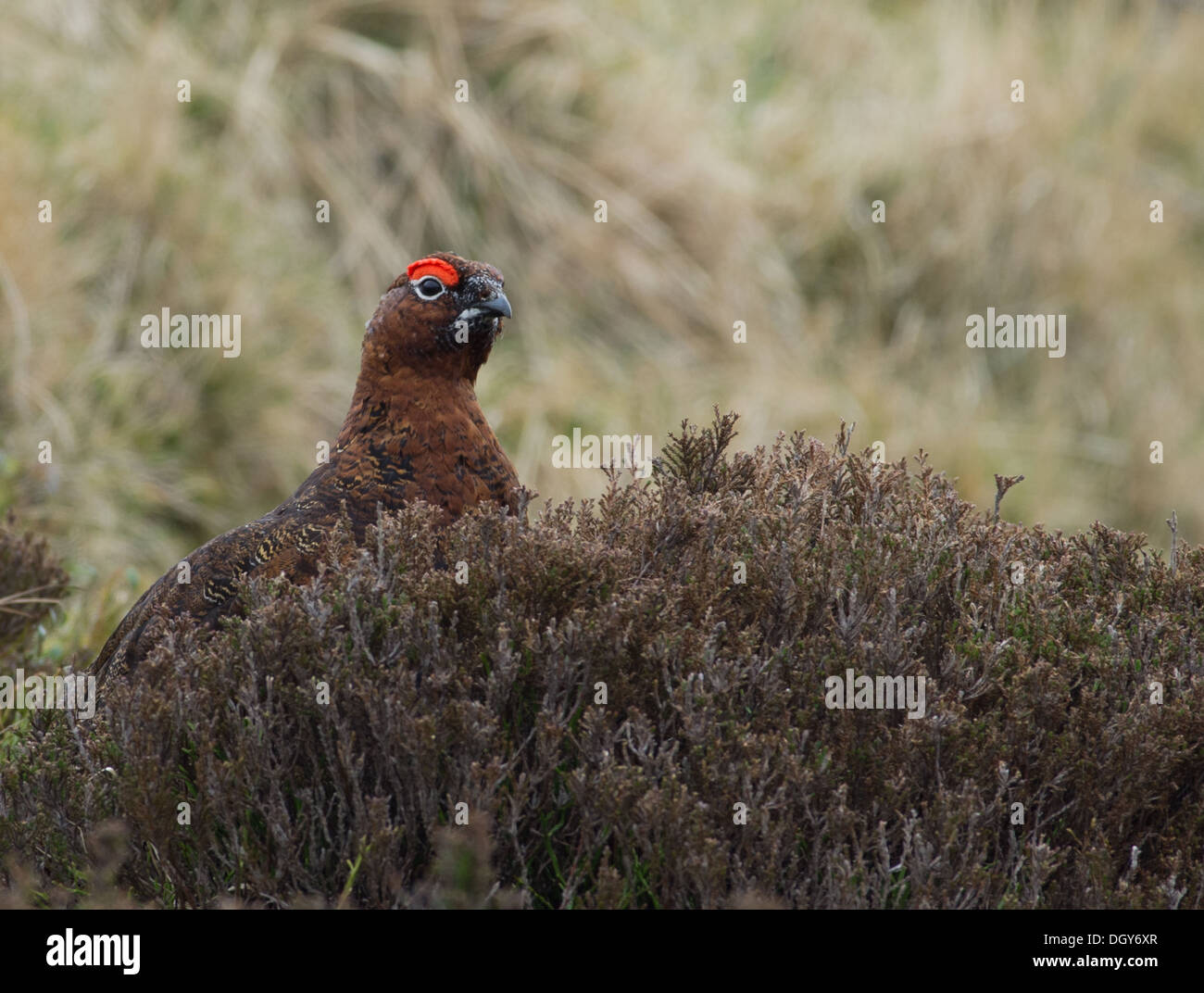 A red grouse standing in the heather, in the Cairngorms - Stock Image