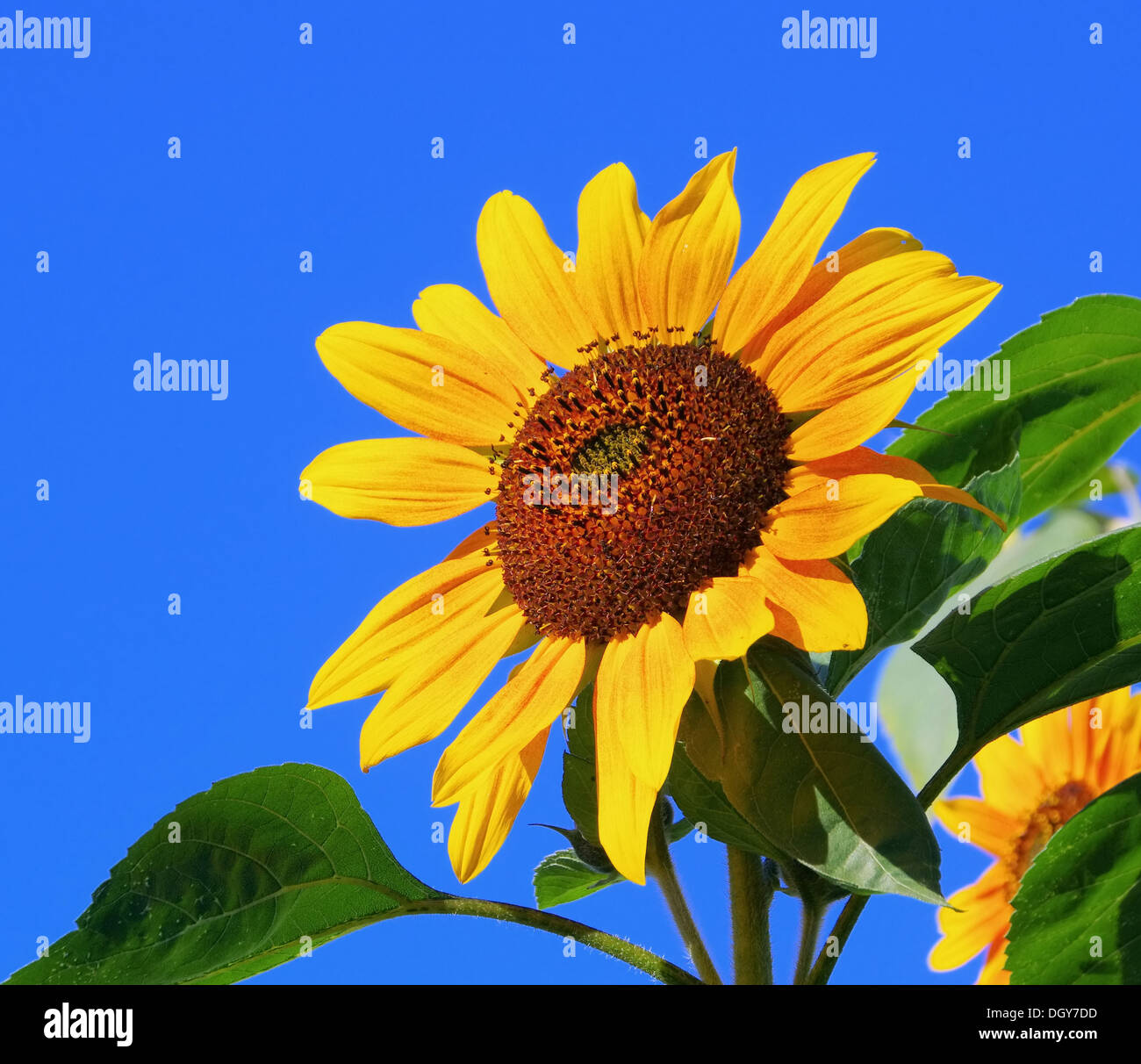 Sonnenblumen - sunflowers 39 Stock Photo
