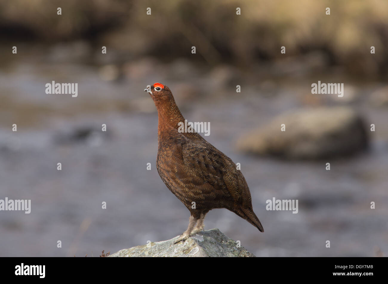 A red grouse standing on a rock, in front of a river,x in the Cairngorms - Stock Image