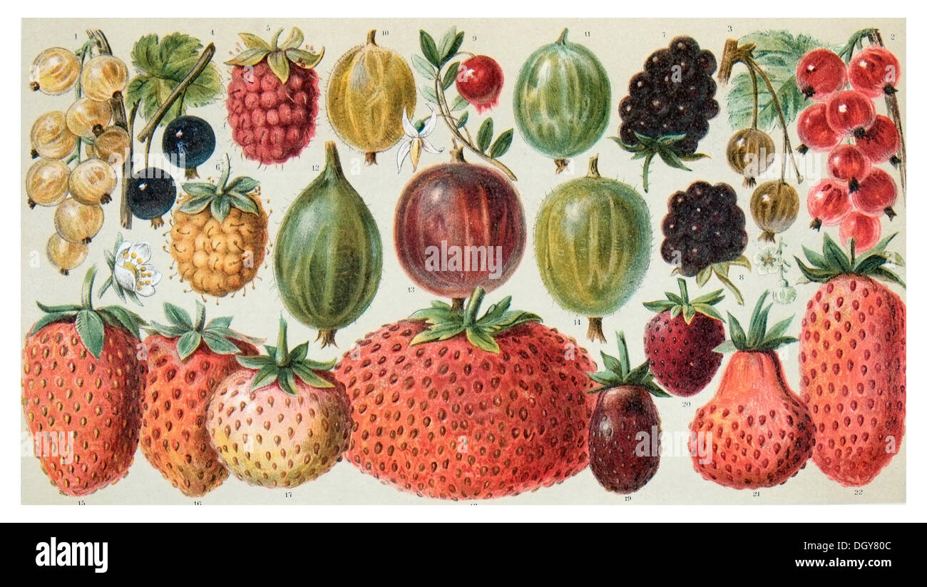 Poster of berry fruit, Meyers Konversations-Lexikon encyclopedia, 1897 - Stock Image