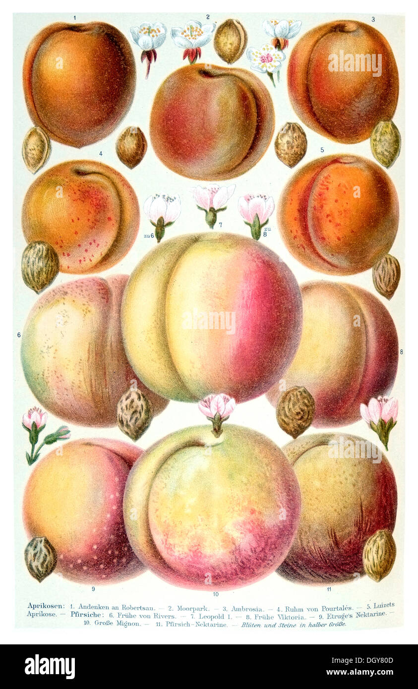 Poster of apricots, Meyers Konversations-Lexikon encyclopedia, 1897 - Stock Image