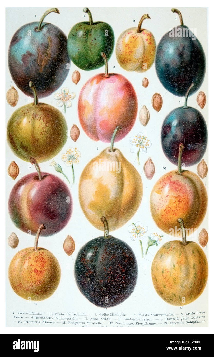Poster of plums, Meyers Konversations-Lexikon encyclopedia, 1897 - Stock Image