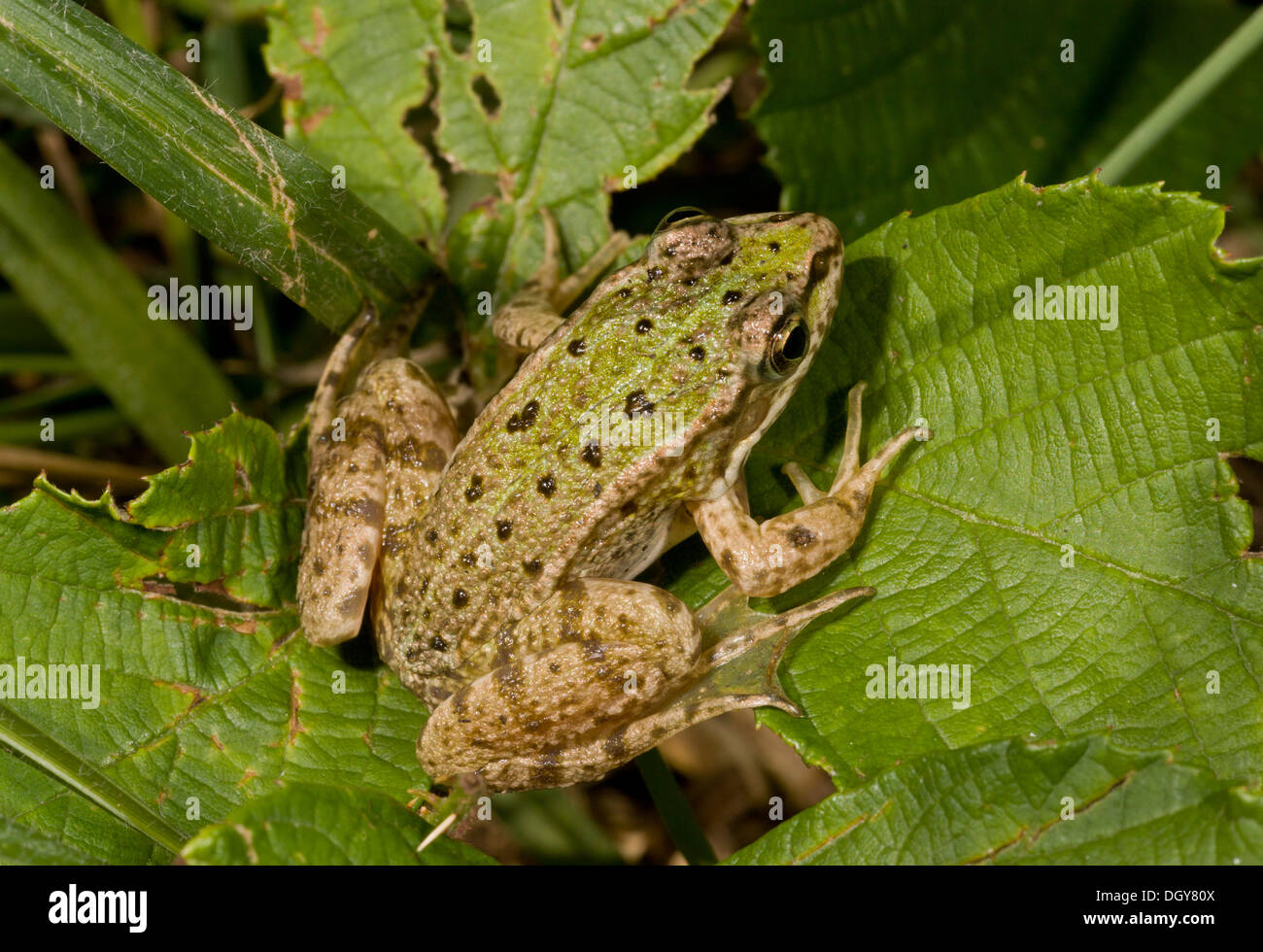 Young Edible Frog Pelophylax kl. esculentus, (Rana esculenta) Brenne, France. - Stock Image