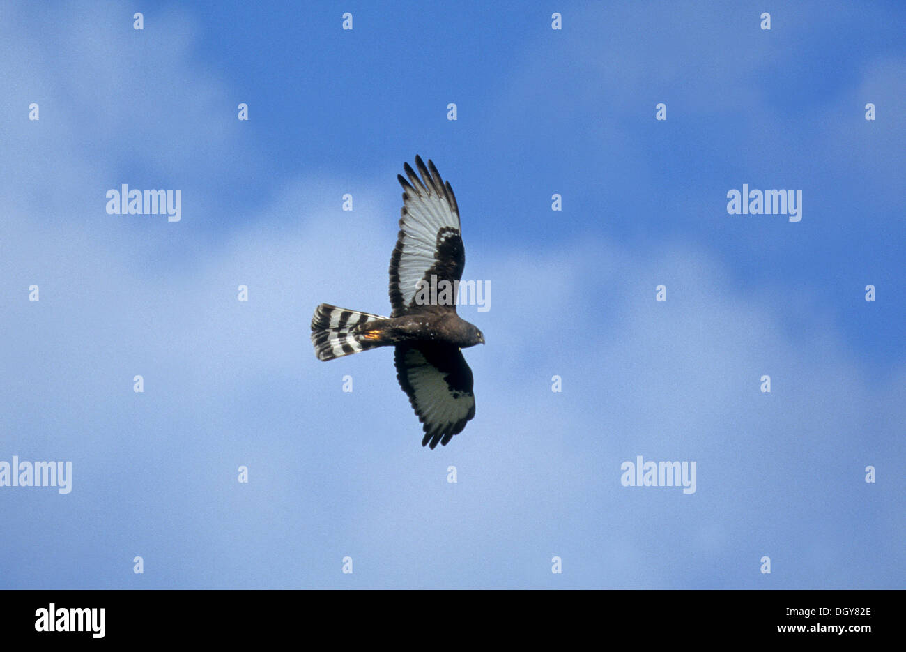 Black Harrier (Circus maurus), in flight, Eastern Cape, South Africa, Africa Stock Photo