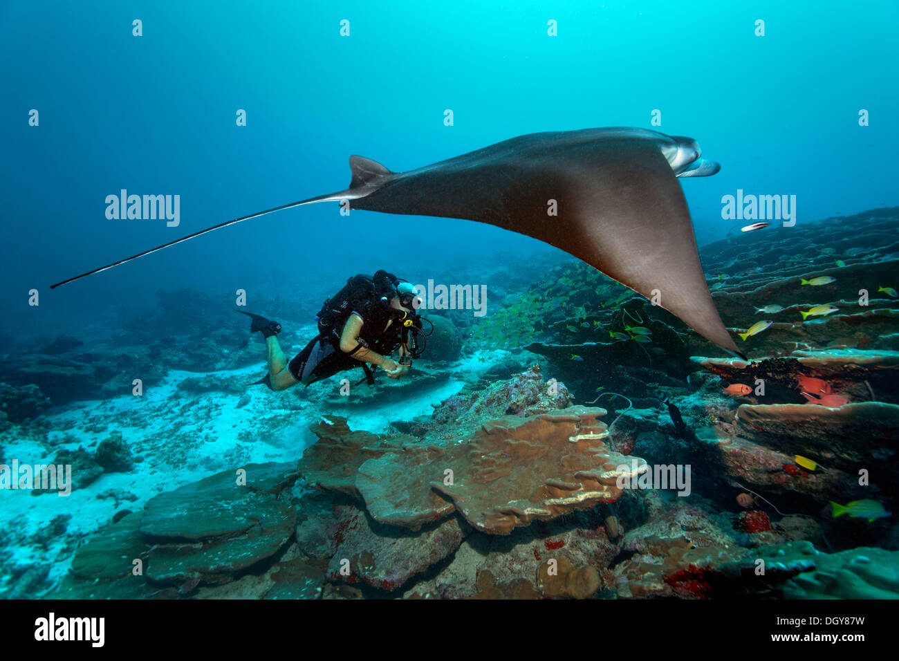 Scuba diver with a closed circuit rebreather Buddy Inspiration observing a Reef Manta Ray (Manta alfredi), technical diving - Stock Image