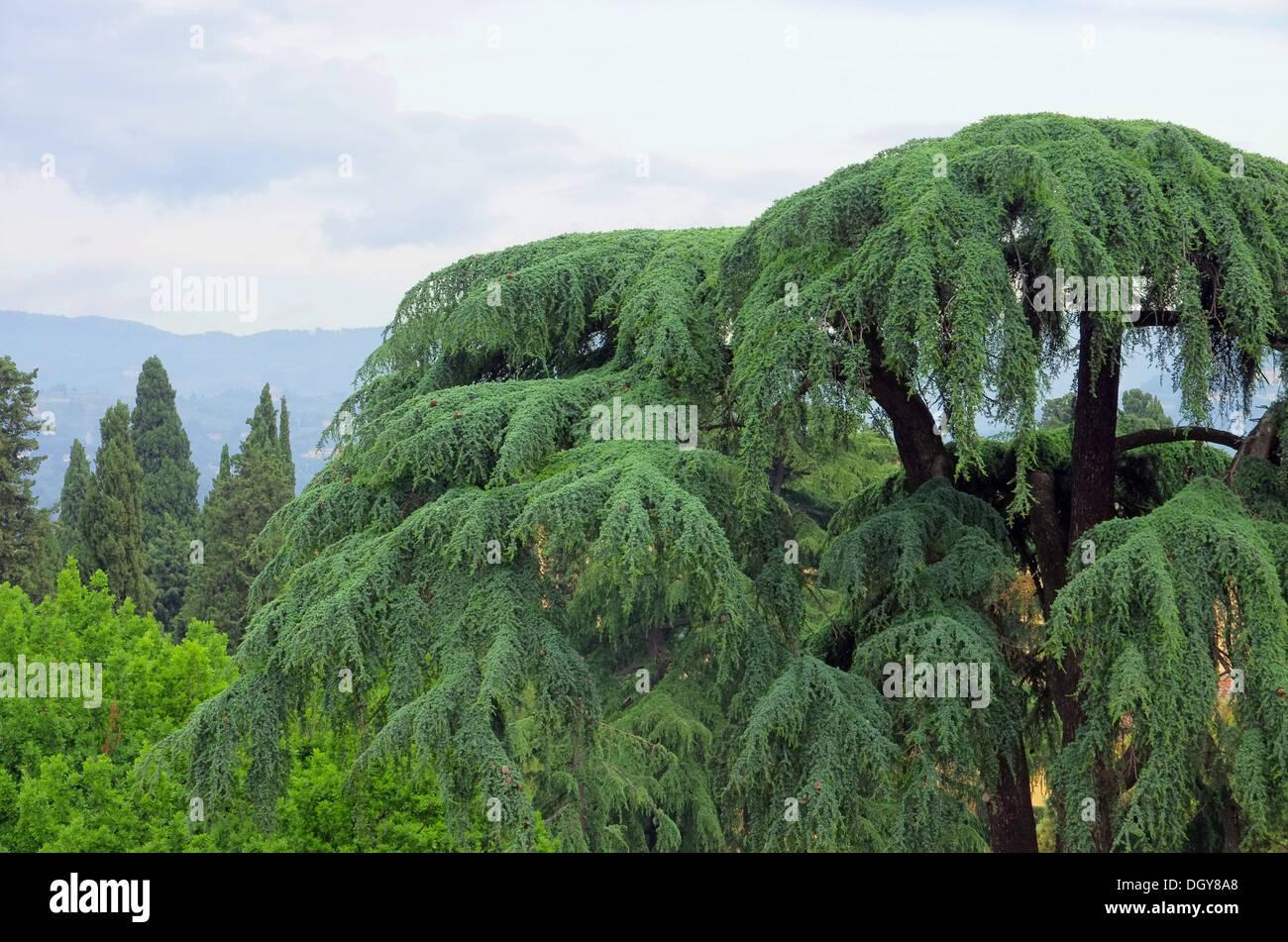 Zeder - cedar 29 - Stock Image