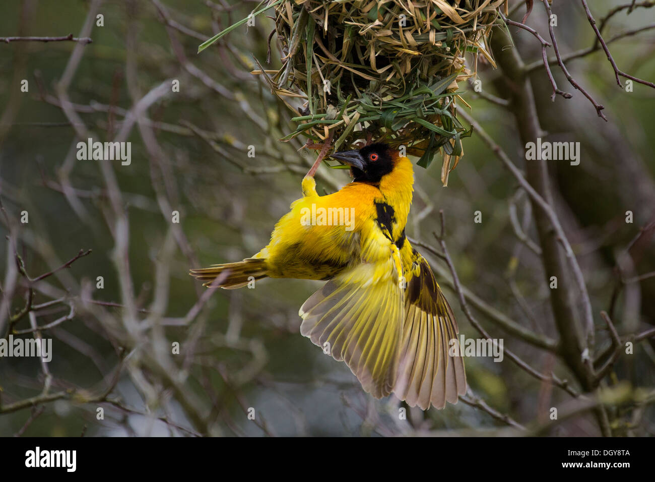 Black-headed Weaver with nest - Stock Image