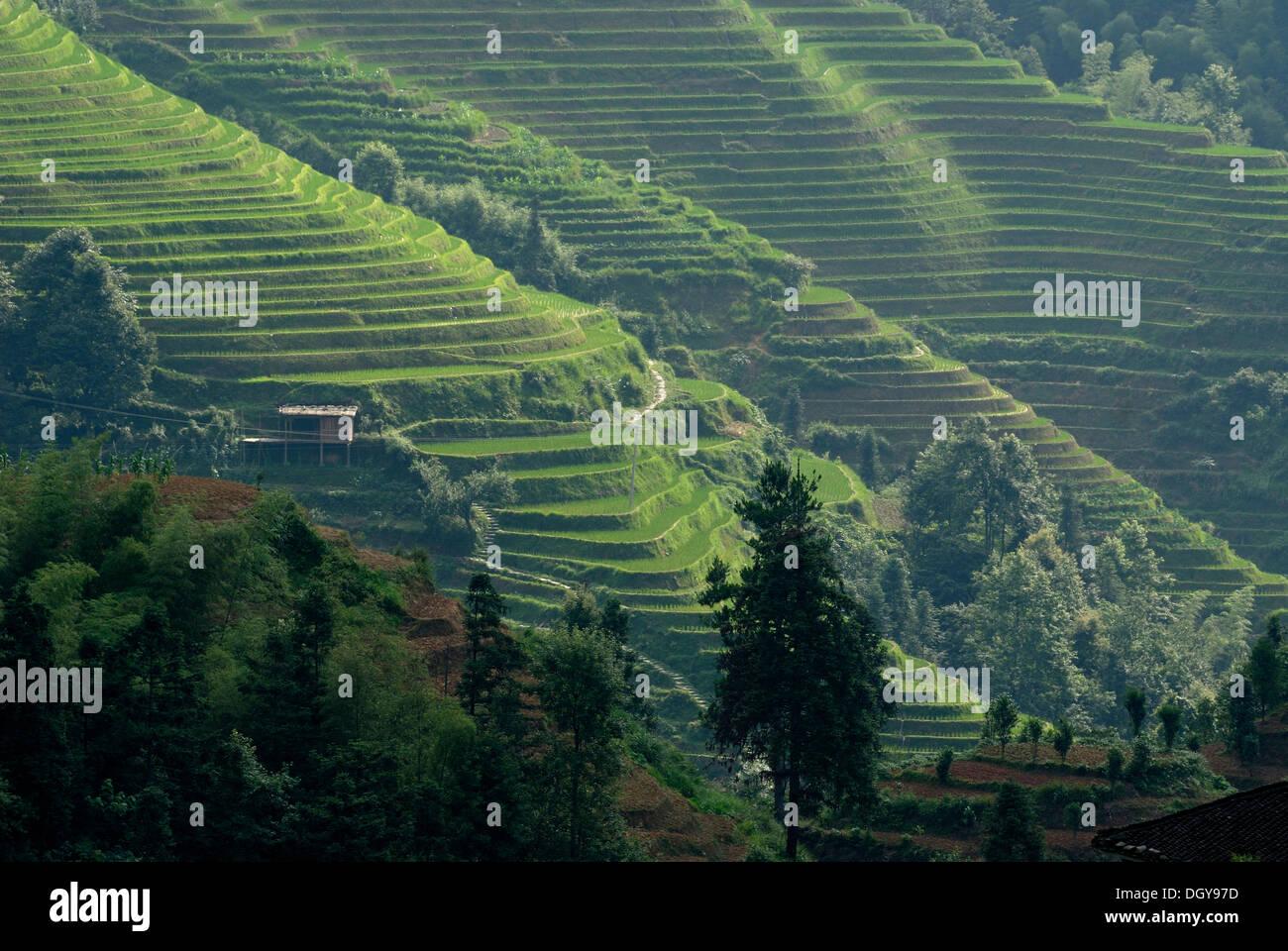The world-famous rice terraces of Longji 'Backbone of the Dragon' or 'Vertebra of the Dragon' for paddy cultivation, Dazhai - Stock Image