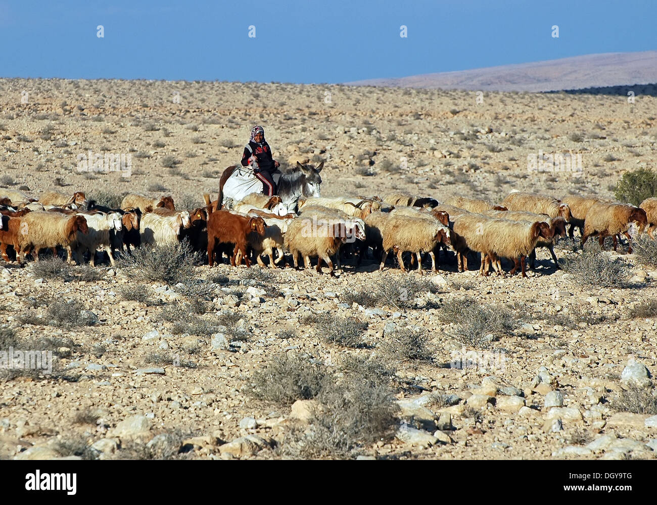 Bedouin Shepard girl ride a donkey in the Negev, Israel - Stock Image