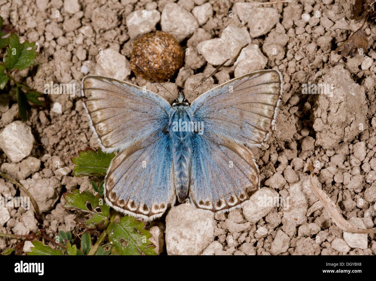Male Chalk-hill Blue butterfly (Lysandra coridon) basking on chalk downland, close-up, Hampshire, England, UK - Stock Image