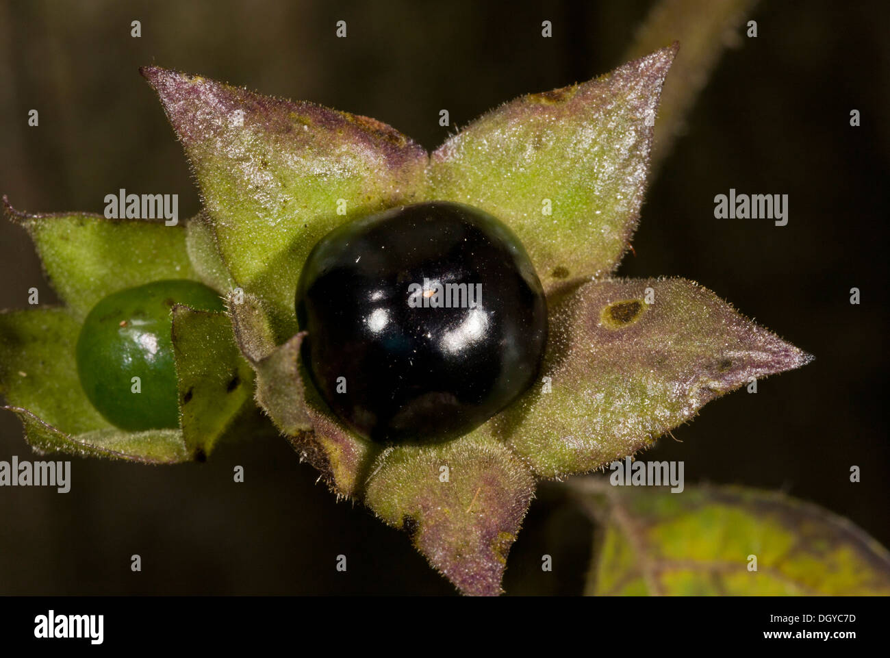 Poisonous berries of Deadly Nightshade (Atropa belladonna) close-up, Hampshire, England, UK - Stock Image