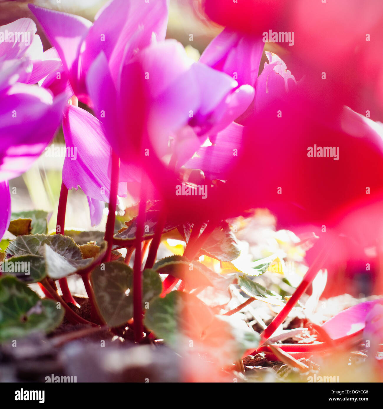 Vibrant magenta Cyclamen in bloom, close-up - Stock Image