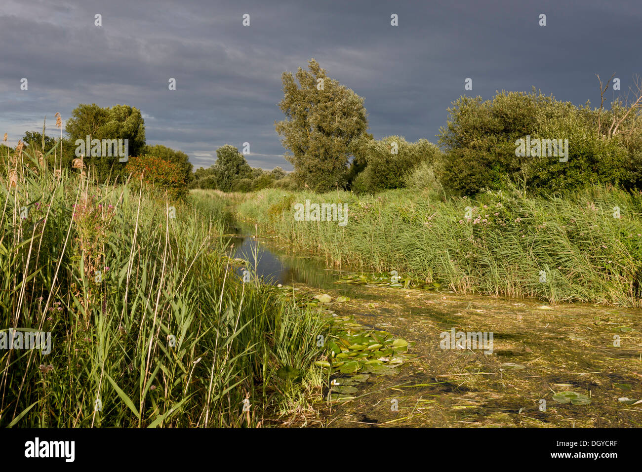 Ditch and reedbeds at Wicken Fen, Cambs. - Stock Image