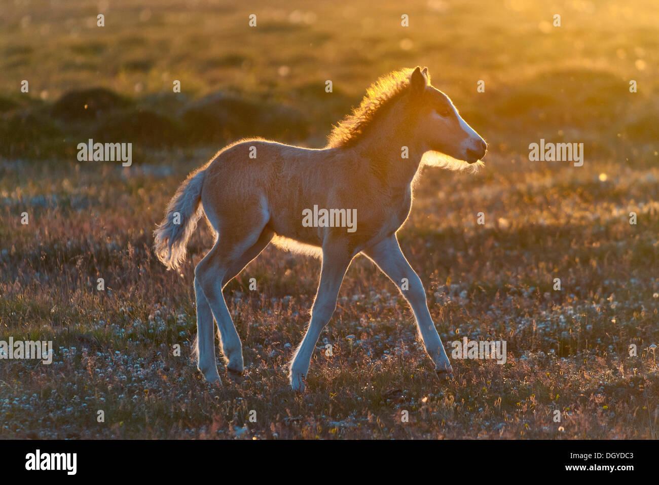 Foal, Iceland horse, Hofsós, Skagafjoerdur bay, northern Iceland, Iceland, Europe - Stock Image