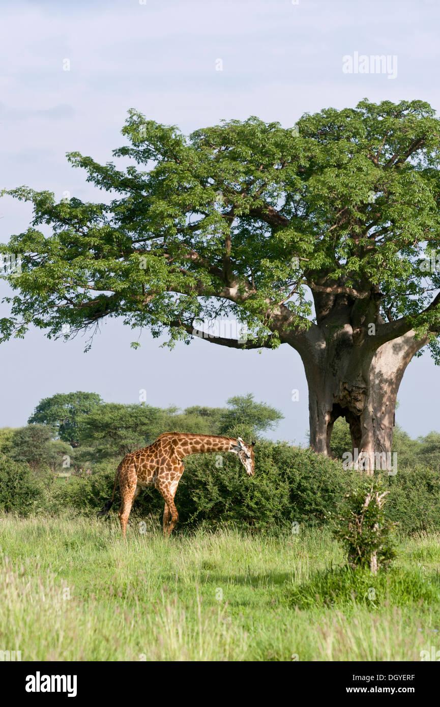 Giraffe (Giraffa camelopardalis) browsing on bushes under a Baobab tree (Adansonia digitata), Tarangire National Park, Tanzania - Stock Image