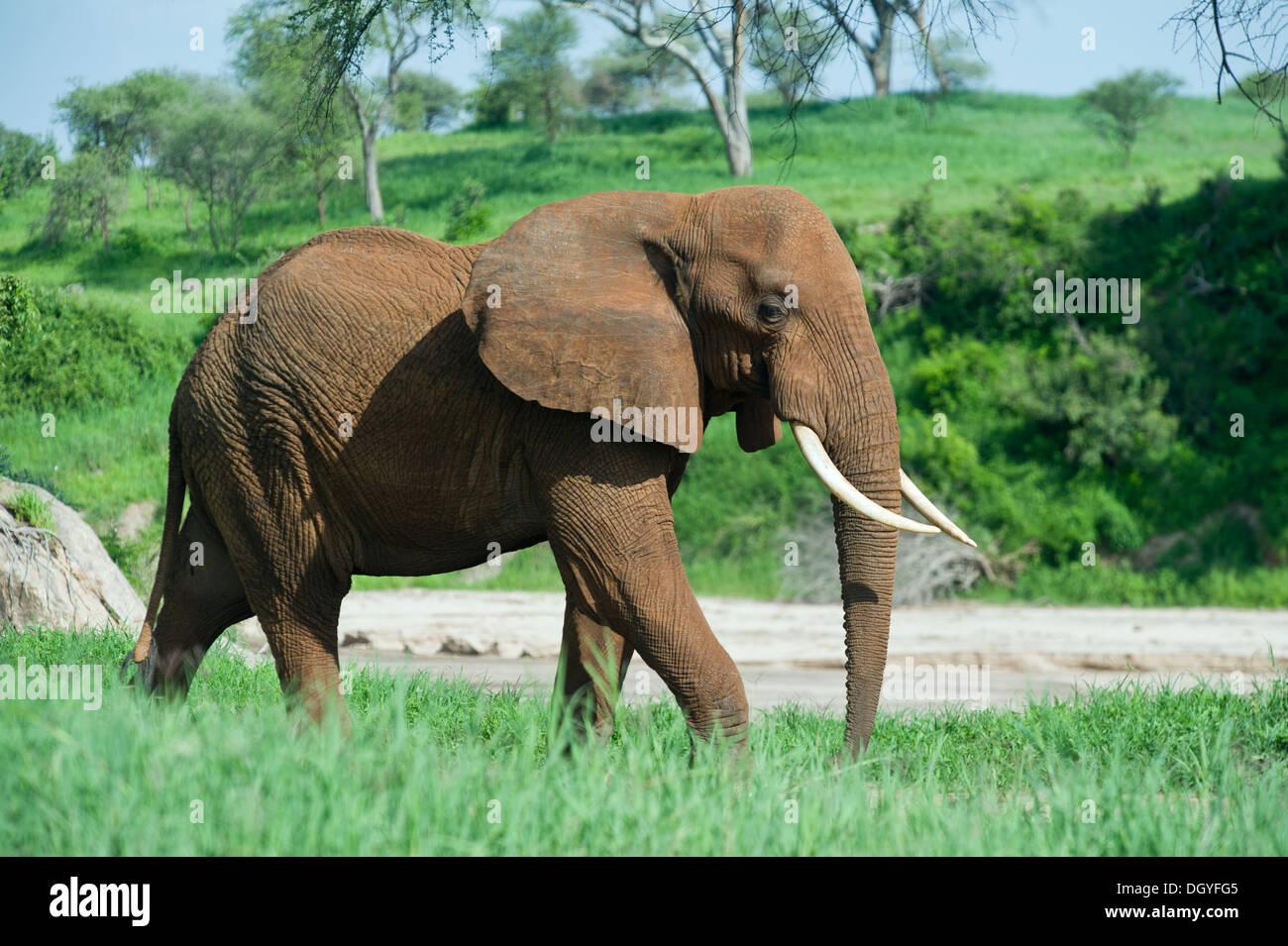 African elephant bull (Loxodonta africana) in Tarangire National Park, Tanzania - Stock Image