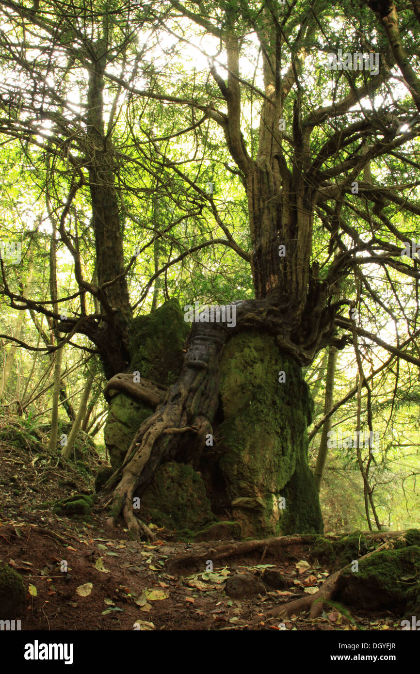 Ancient Yew with exposed roots in the Forest of Dean, - Stock Image
