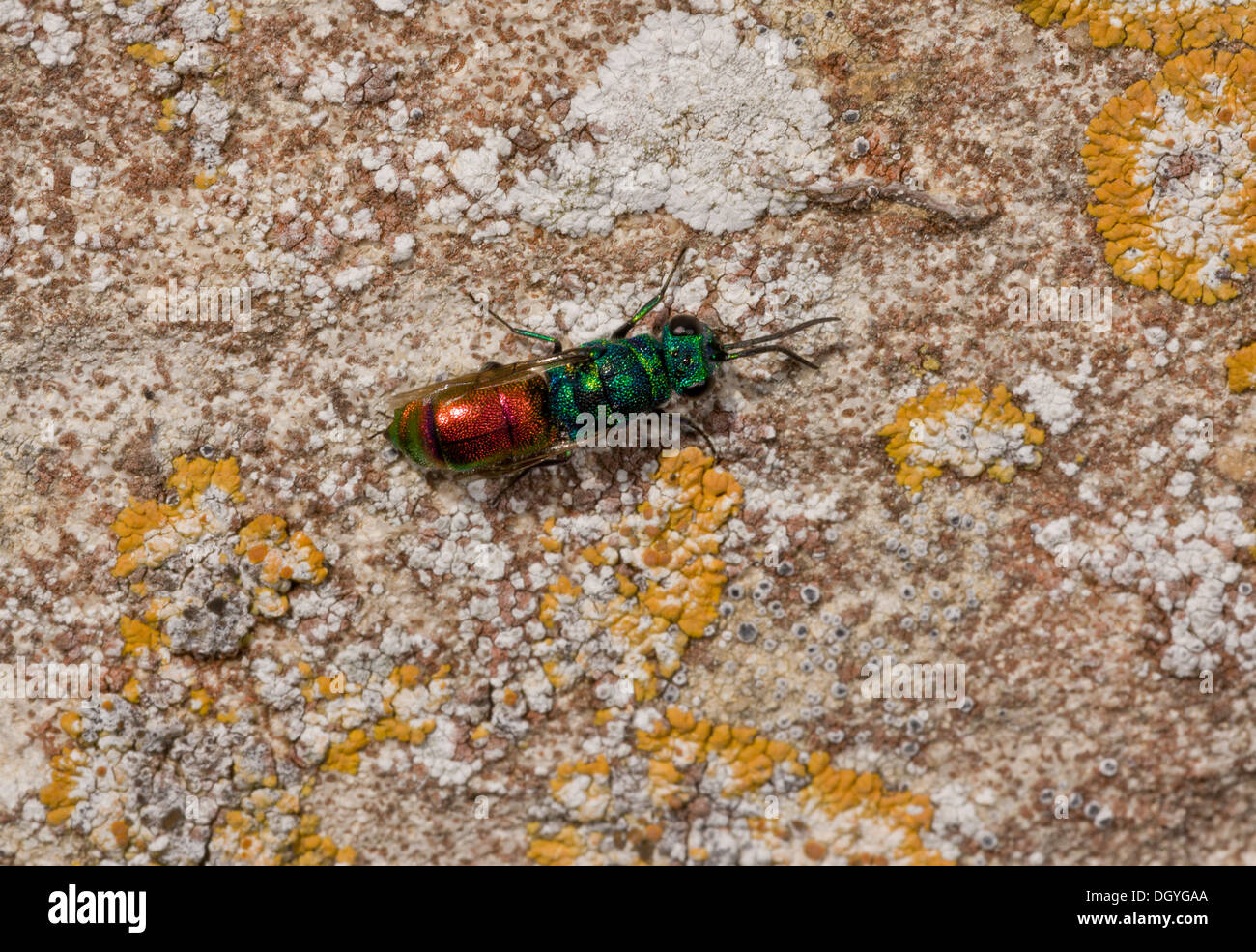 A ruby-tailed wasp or Jewel wasp, Chrysis ignita agg. - female searching for active mason wasp nests. Dorset - Stock Image