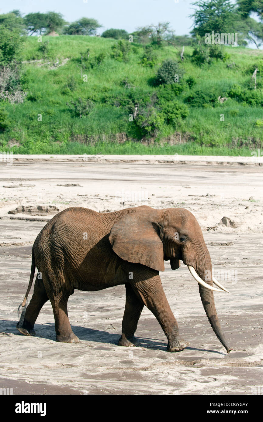 African elephant (Loxodonta africana) searching for water in a sandy river bed in Tarangire National Park, Tanzania Stock Photo