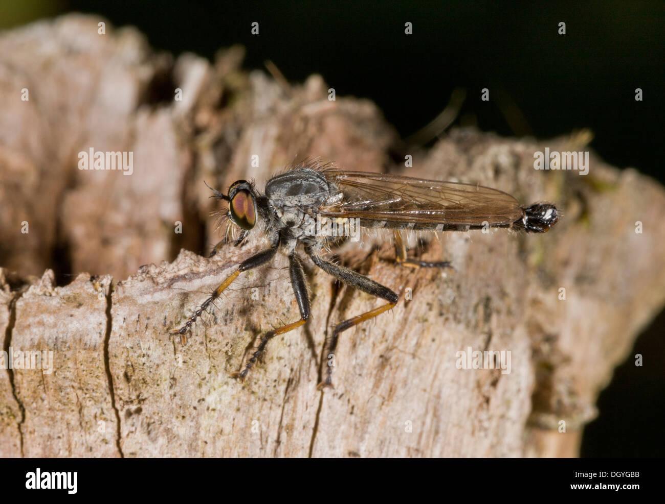 Common Awl Robber-fly, Neoitamus cyanurus - Stock Image