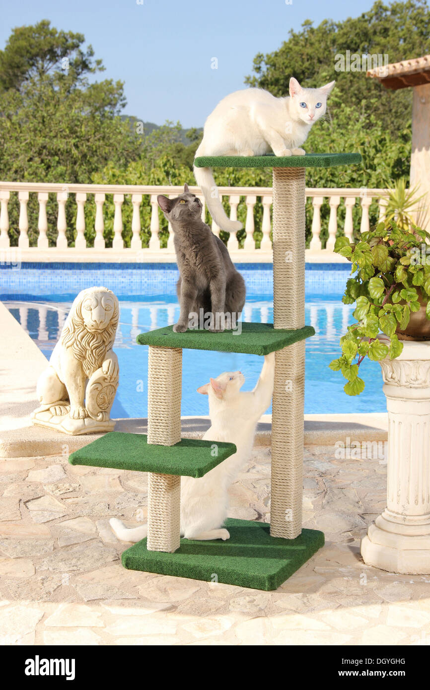 Thee domestic cats on a cat tree next to a swimming pool - Stock Image