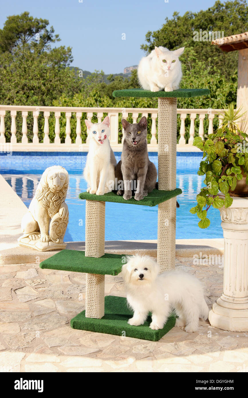 Thee domestic cats an a juvenile Maltese on a cat tree next to a swimming pool - Stock Image