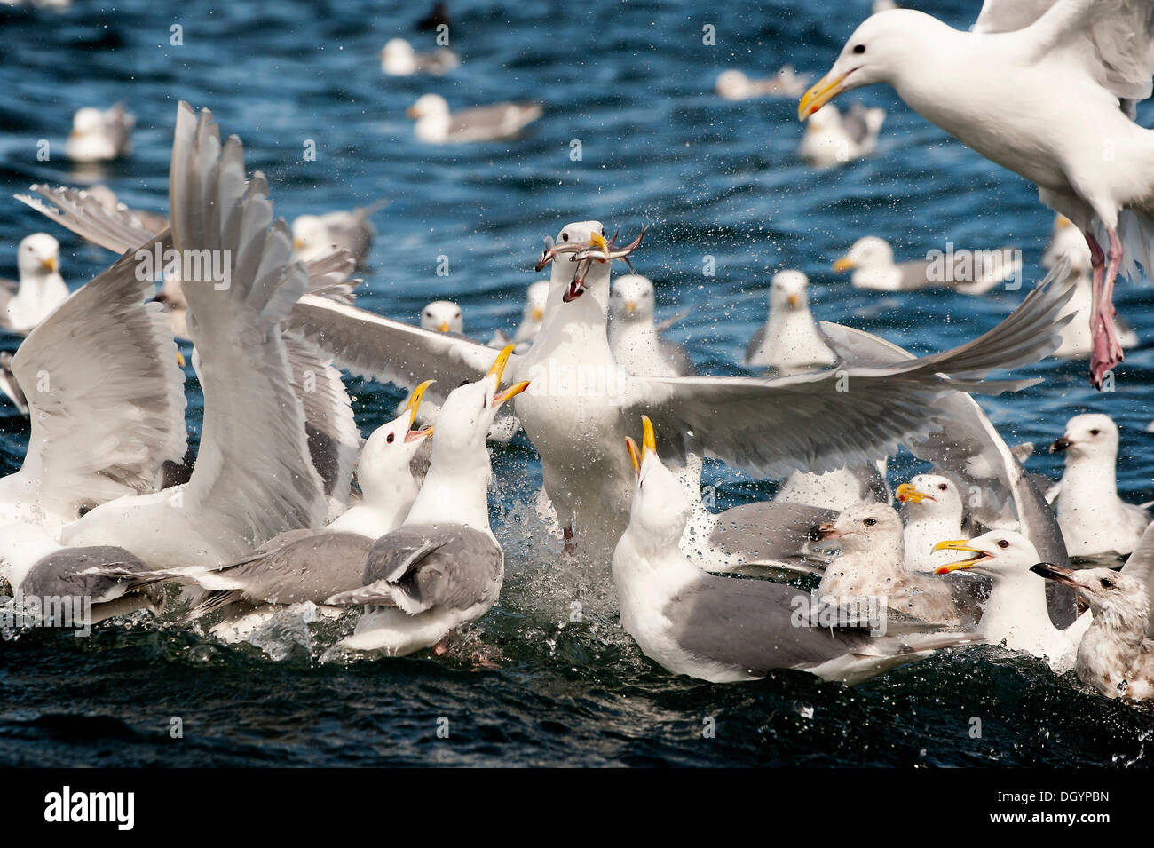 Glaucous-winged gulls (Larus glaucescens) feed on herring in the Gulf of Alaska - Stock Image