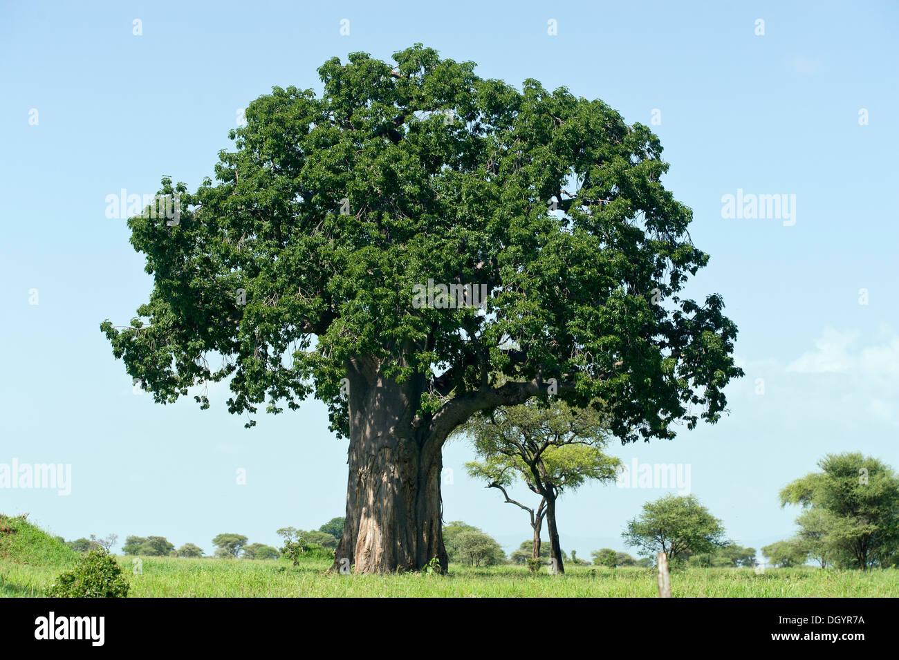 Baobab tree with leaves in Tarangire National Park, Tanzania - Stock Image