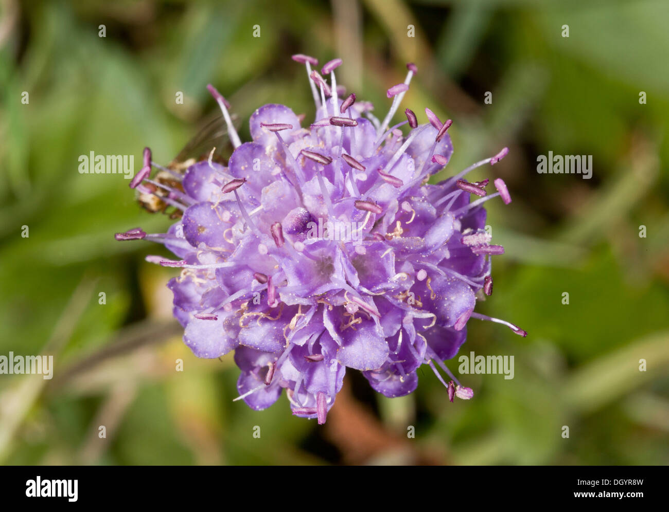 Devil's-bit Scabious, Succisa pratensis close-up of flower cluster. - Stock Image