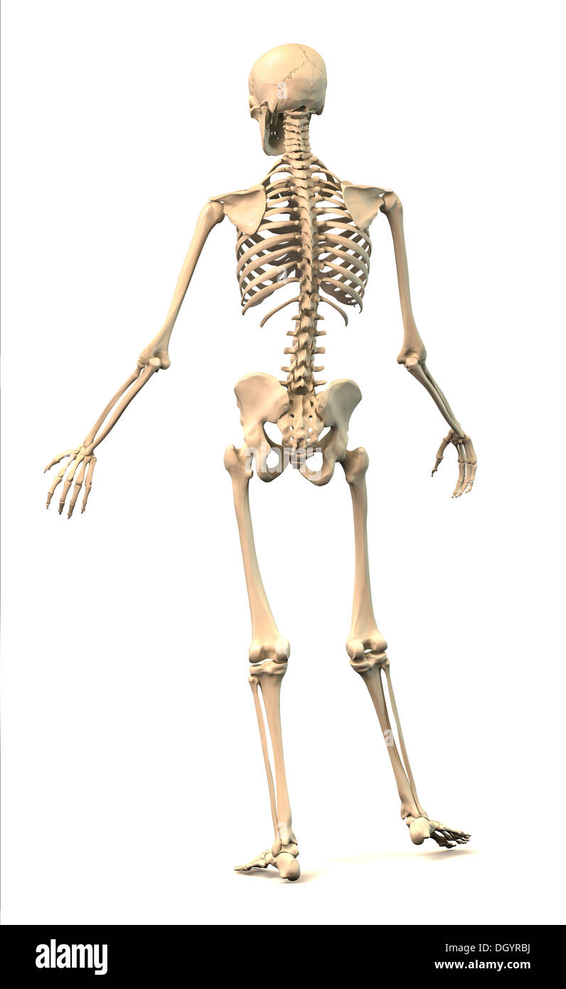 Male human skeleton extremely detailed and scientifically correct male human skeleton extremely detailed and scientifically correct in dynamic posture rear view on white background anatomy ccuart