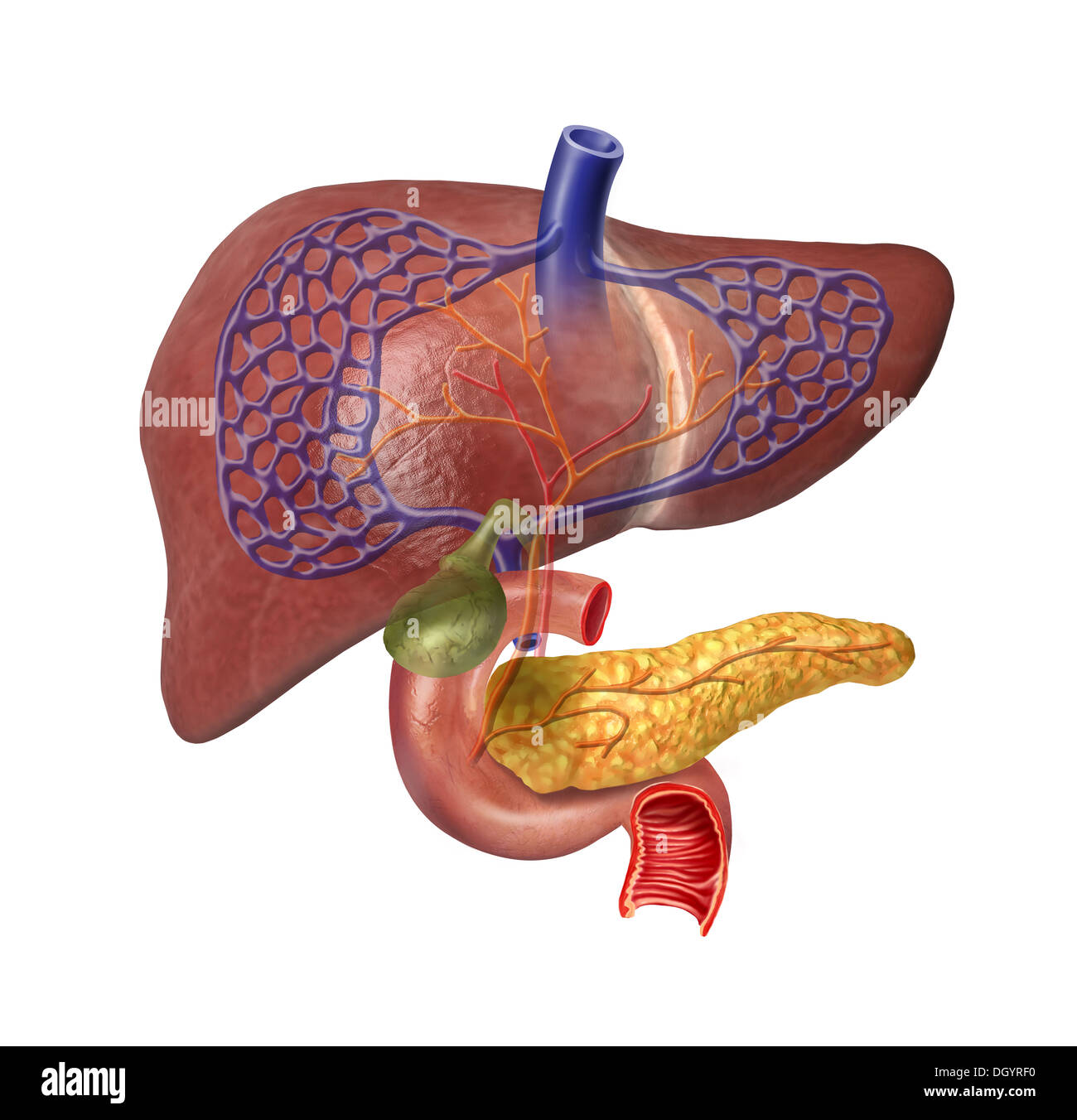 Human Liver system cutaway, with Pancreas, duodenum, Gallbladder ...