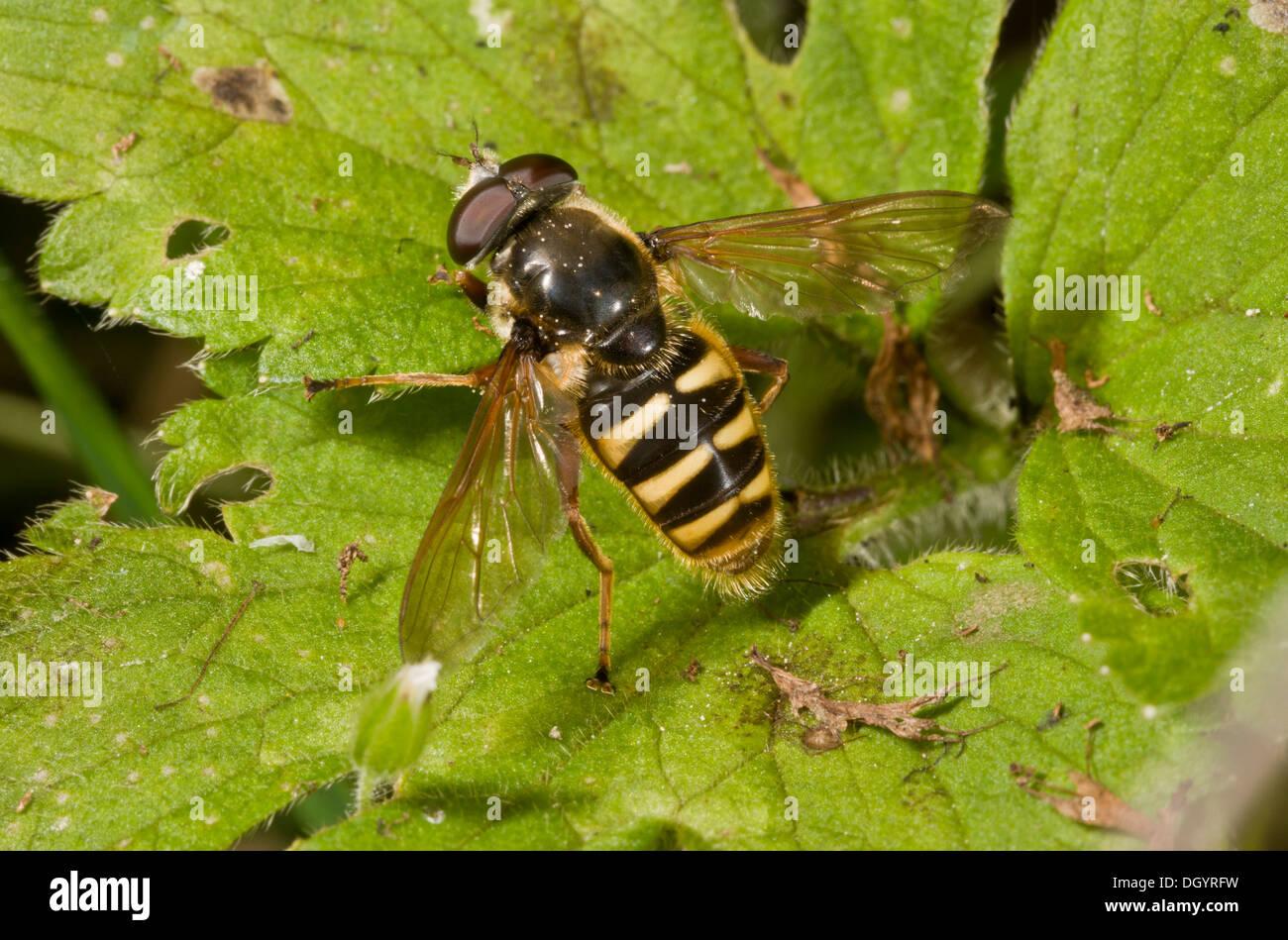 A bog hoverfly, Serricomyia silentis basking in the sun in autumn, Dorset. - Stock Image