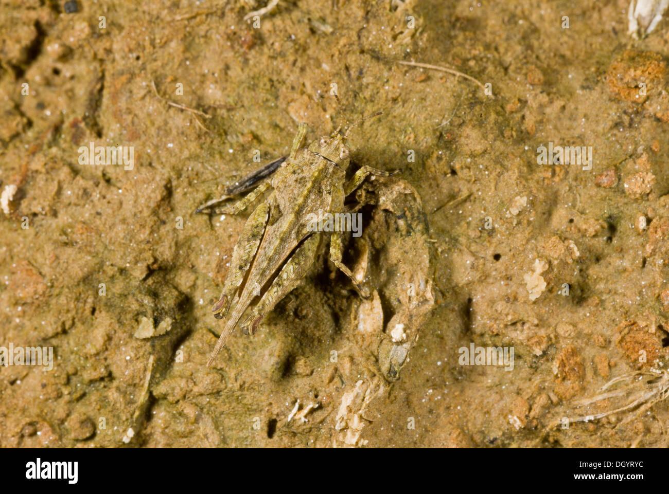 Cepero's Groundhopper, Tetrix ceperoi on muddy ground, undercliff, West Dorset. Rare in UK. - Stock Image