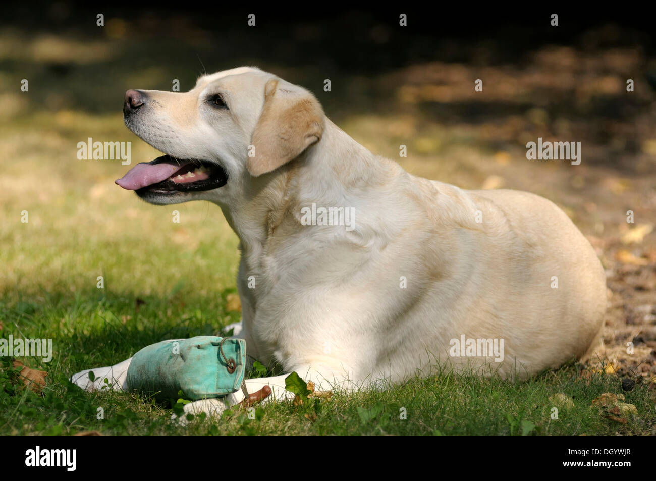 Blonde Labrador-Retriever lying on the ground with a dummy on its paws Stock Photo