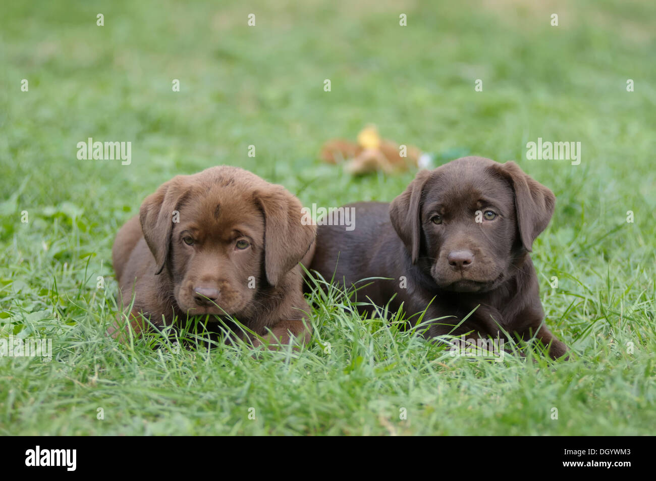 two labrador retrievers puppies lying in a meadow next to each