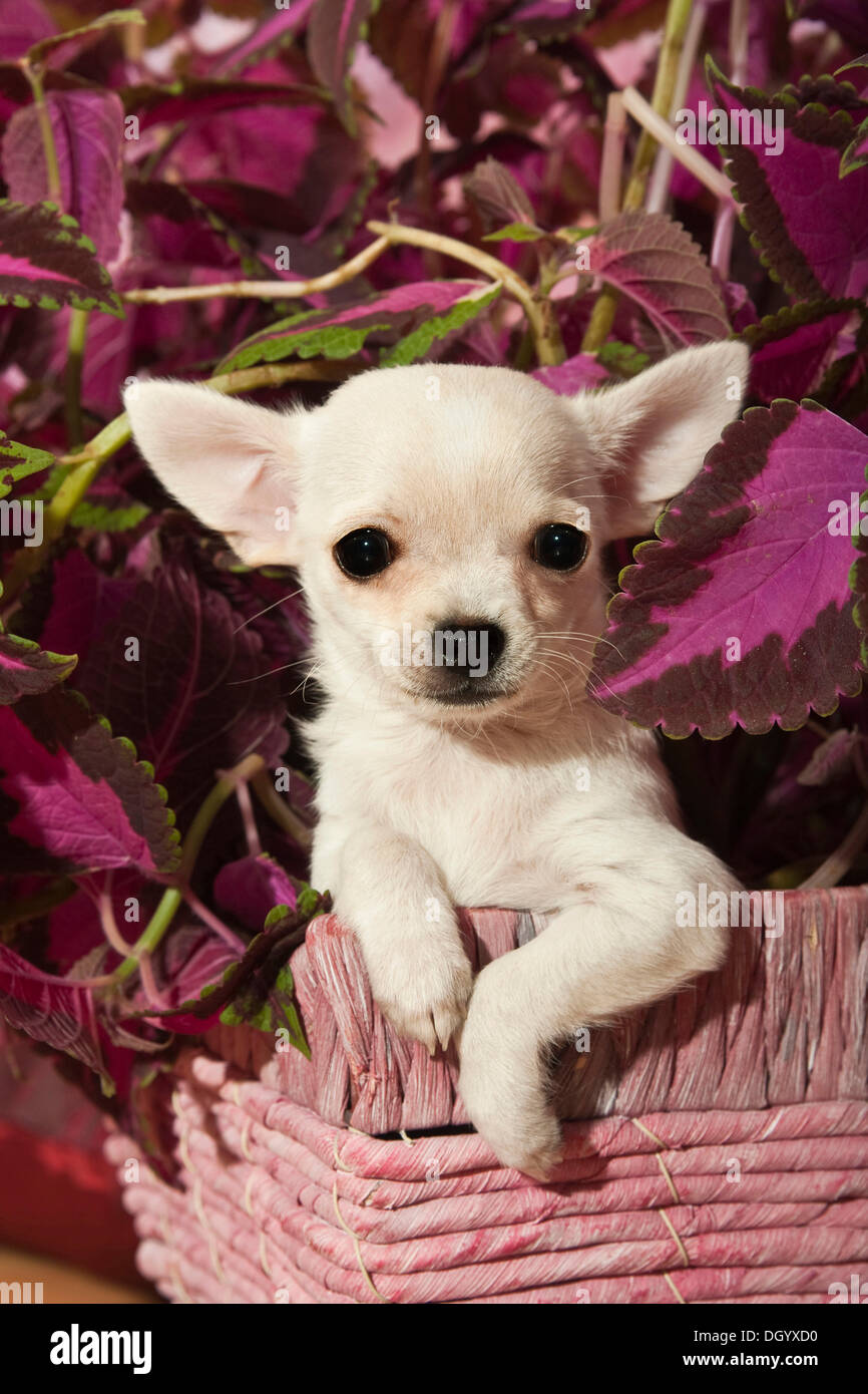 Chihuahua puppy - Stock Image