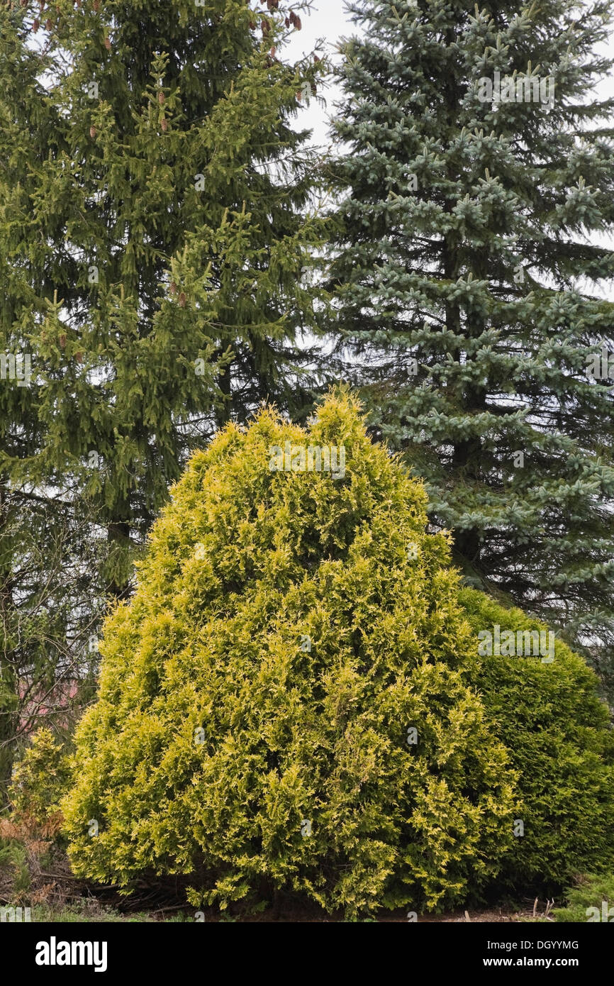 Cedar and tall evergreen trees in the 'Jardin du Grand Portage' garden in spring, Saint-Didace, Lanaudiere, Quebec, Canada - - Stock Image