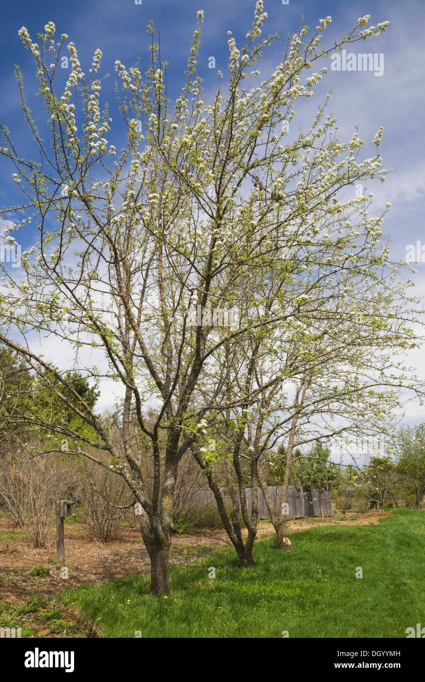 Pear trees in bloom in the 'Jardin du Grand Portage' garden in spring, Saint-Didace, Lanaudiere, Quebec, Canada - This image is - Stock Image