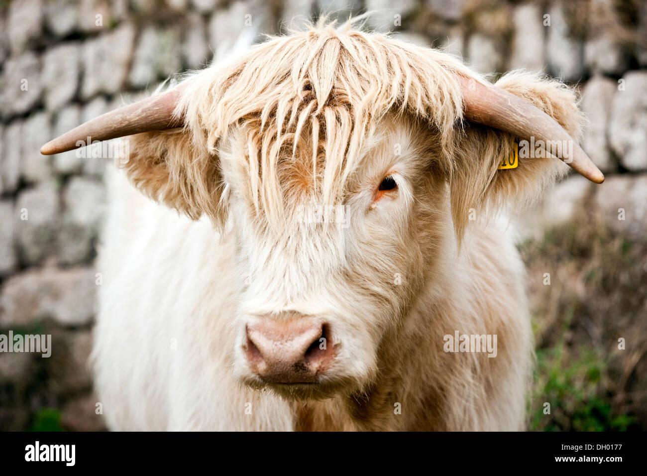 Scottish Highland Cattle, young bull, mixed-breed, Cornwall, England, United Kingdom - Stock Image