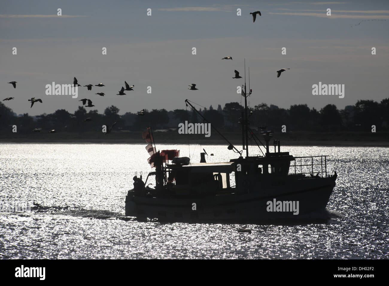 Fishing boat, accompanied by a flock of seagulls, on its way back to Travemuende, Schleswig-Holstein - Stock Image