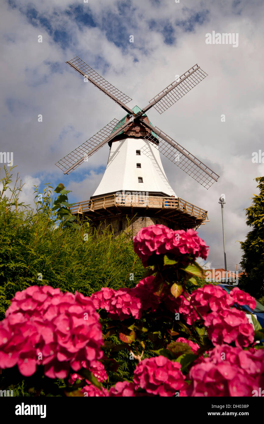 Dutch windmill called Amanda and flowering hydrangeas, Kappeln, Schleswig-Holstein - Stock Image