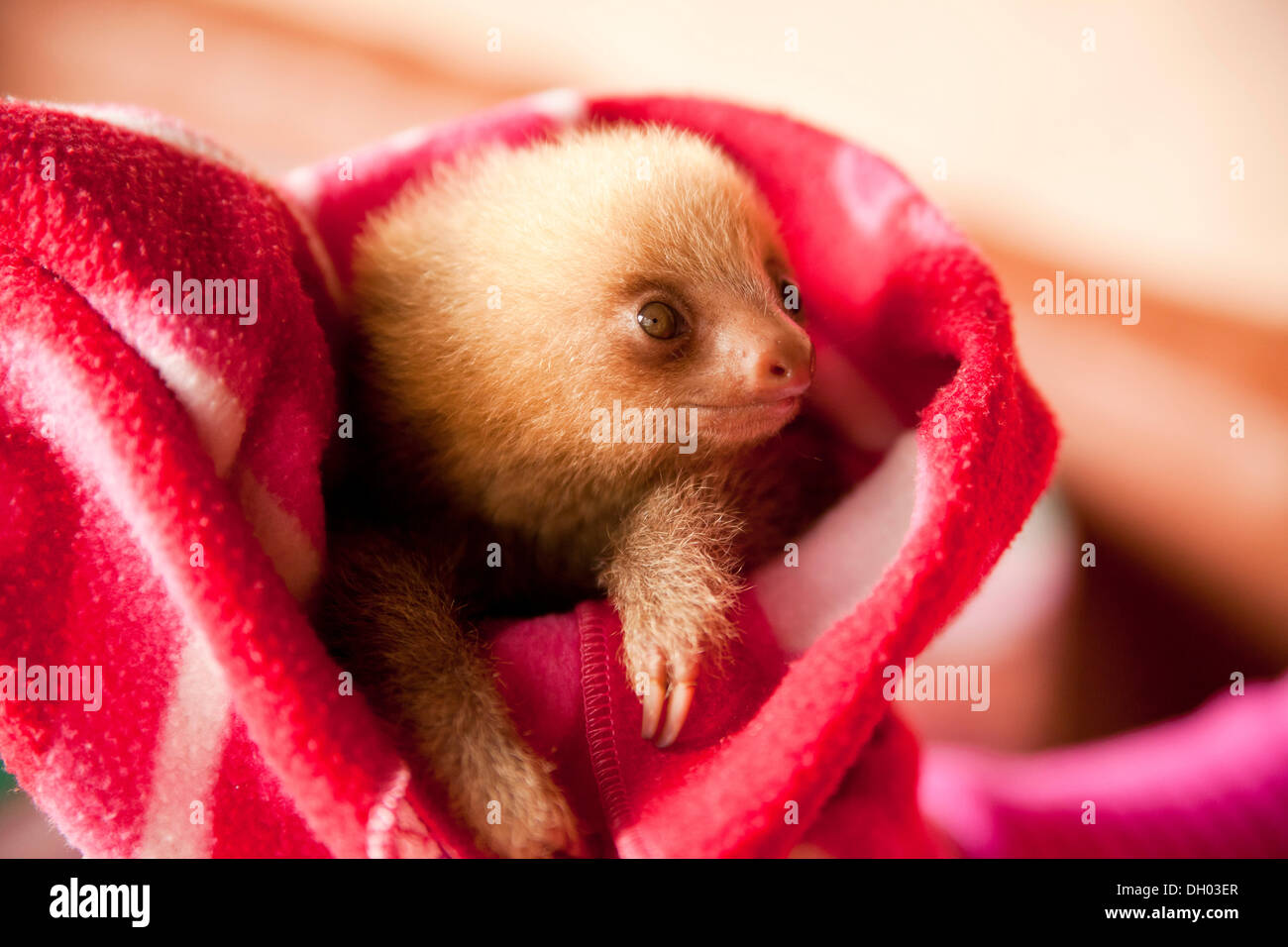 Three-toed-sloth (Bradypus), young in a blanket, Toucan Rescue Ranch, San Isidro de Heredia, Costa Rica, Central America Stock Photo