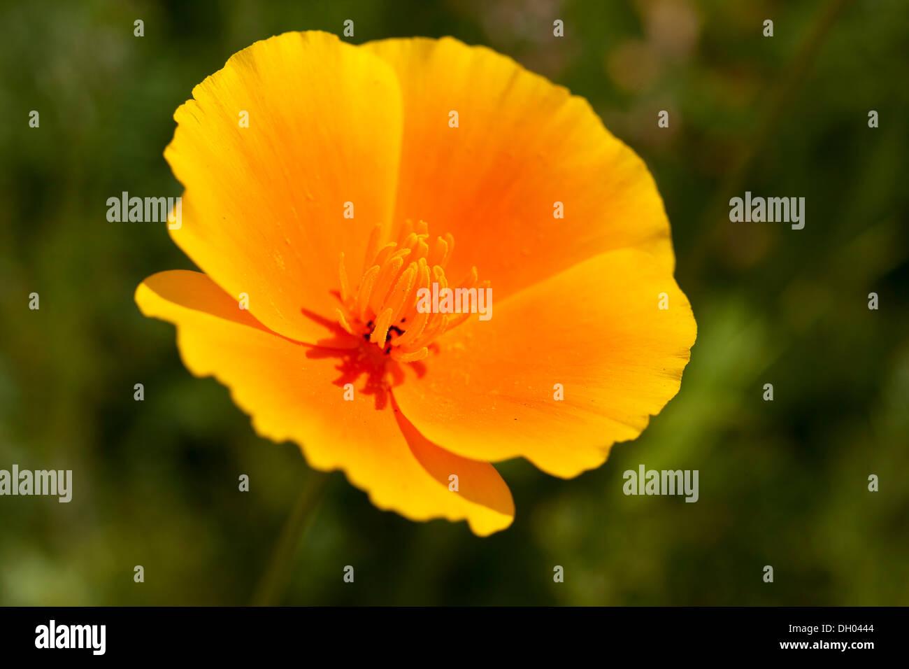 California Poppy (Eschscholzia californica), close-up of a flower - Stock Image