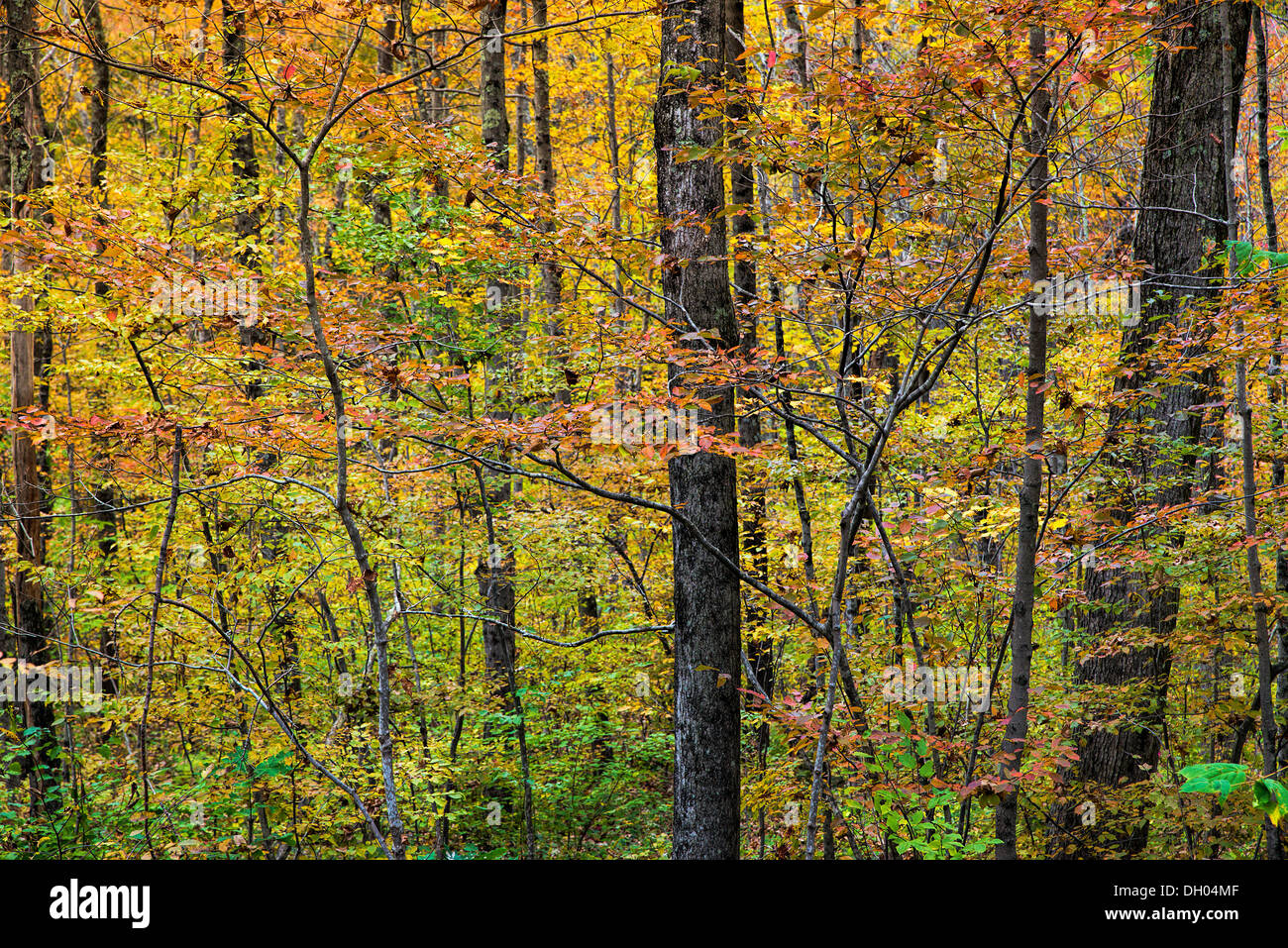 Abstract detail of a autumn woods, Cornwall Connecticut, USA - Stock Image